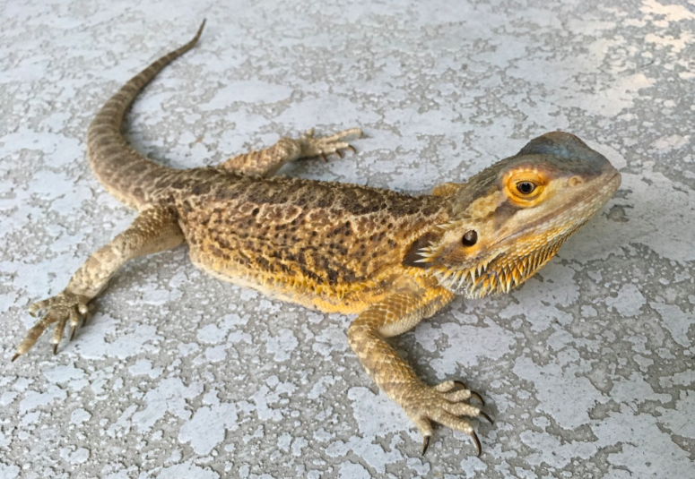 This is Zigzag, Emily Bash's bearded dragon who enjoys roaming around as part of his curious nature.