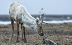 A porcupine Caribou tends to its calf in the Arctic National Wildlife Refuge